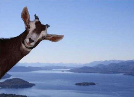Name:  goat[1].jpg Views: 183 Size:  10.6 KB
