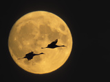 Name:  ellen-anon-sandhill-cranes-flying-in-front-of-full-moon-bosque-del-apache-national-wildlife-rese.jpg Views: 152 Size:  10.0 KB