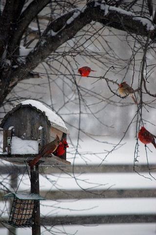 Name:  cardinals.jpg Views: 309 Size:  30.0 KB