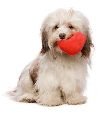 Name:  havanese-valentine-dog.jpg