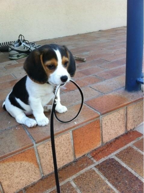 Name:  begel puppy.jpg Views: 79 Size:  116.3 KB