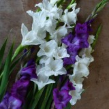 Name:  Gladioli_Purple_White_Blend_15-160x160.jpg