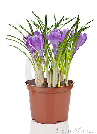 Name:  crocus-flower-pot-isolated-18899698.jpg