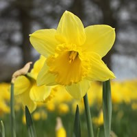 Name:  daffodil-advic.jpg