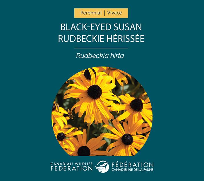 Name:  seed-packets-black-eyed-susan.jpg Views: 576 Size:  228.8 KB