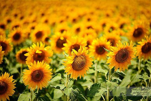 Name:  sunflower8.jpg Views: 86 Size:  43.8 KB