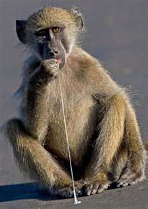 Name:  monkey with gum.jpg