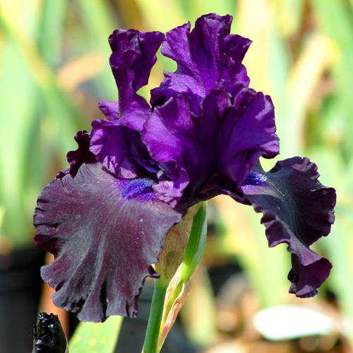 Name:  purple_iris.jpg Views: 89 Size:  42.6 KB