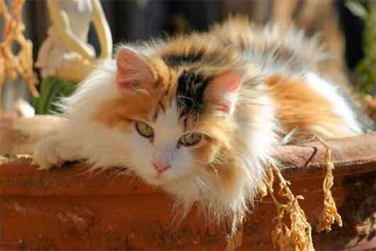Name:  calico-cat-3.jpg Views: 214 Size:  15.5 KB