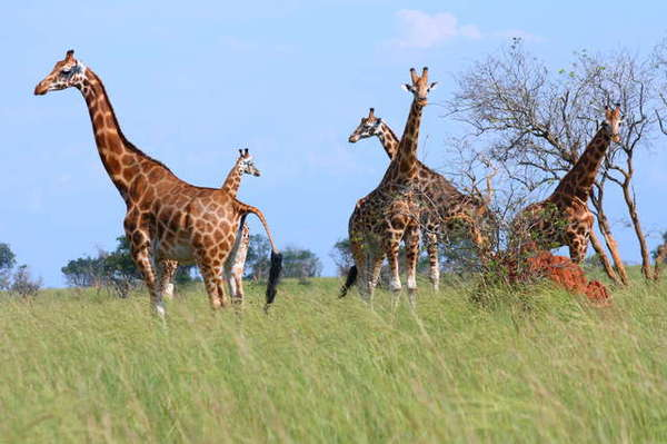 Name:  070925154010_rothschild_giraffe_family.jpg