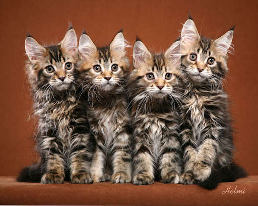 Name:  Maine-Coon-Kittens.jpg Views: 145 Size:  47.0 KB
