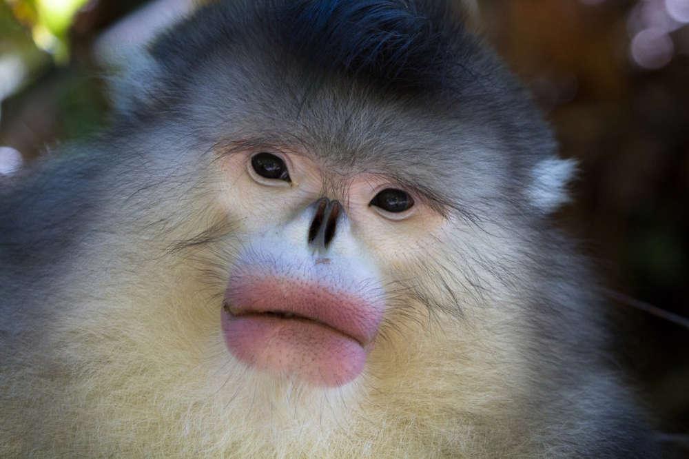 Name:  Snub-Nosed Monkey.jpg Views: 78 Size:  63.1 KB