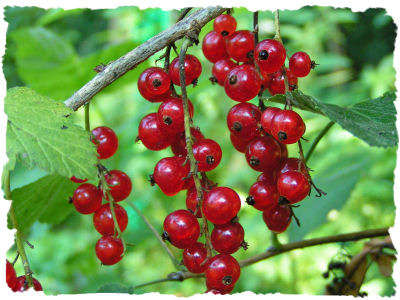 Name:  Red-Currant4.jpg