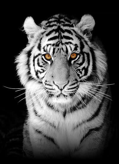 Name:  tiger_big.jpg Views: 574 Size:  28.9 KB