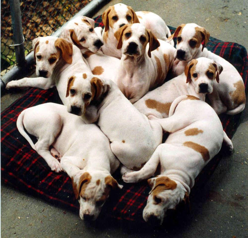 Name:  puppies-brown-white-on-blanket.jpg Views: 1271 Size:  122.6 KB