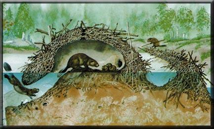 Inside a beavers dam - photo#22