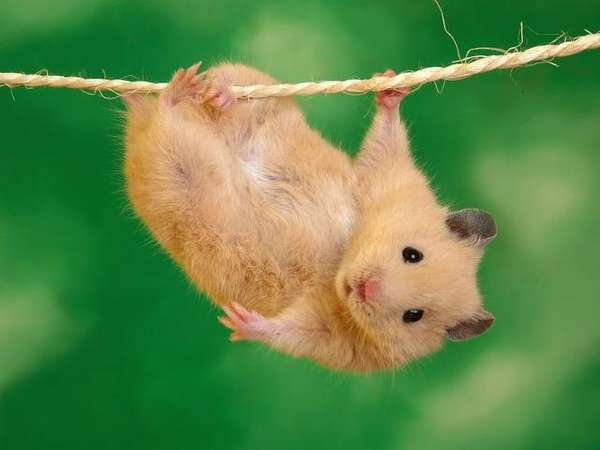 Name:  hangintherehamster.jpg