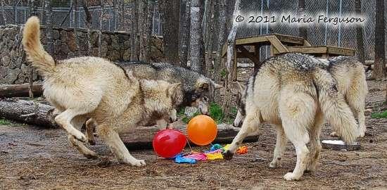 158330d1358728117-happy-birthday-wolfdio