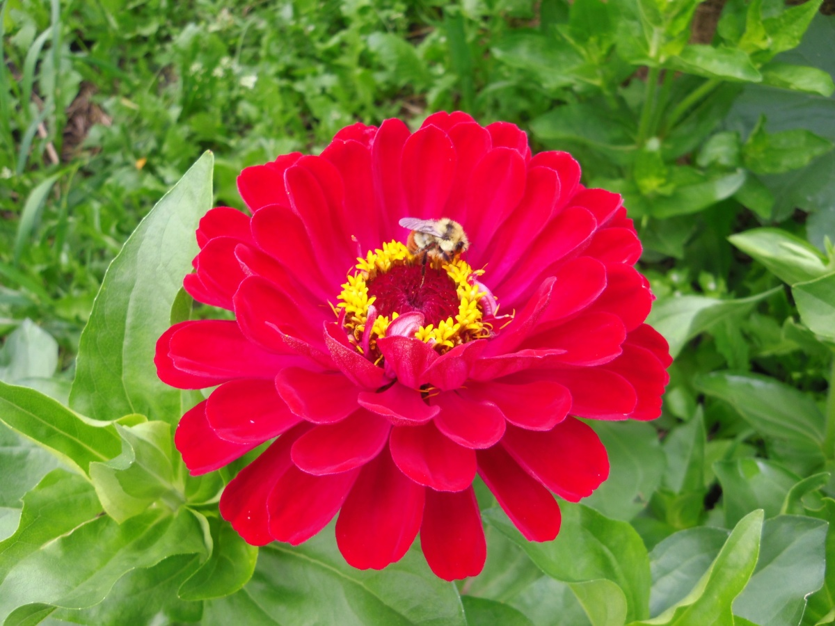 Name:  zinnia and bee aug 10.jpg Views: 35 Size:  289.6 KB