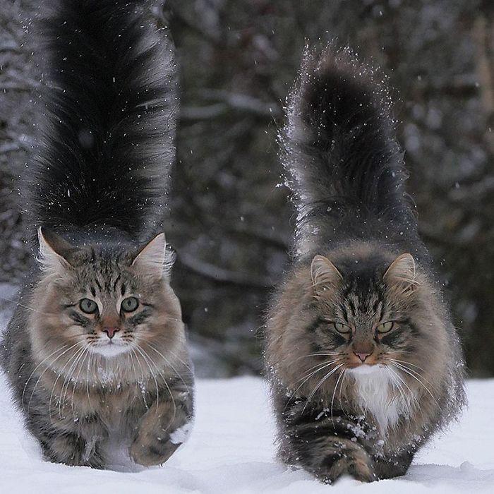 Name:  norwegian_forest_cat.jpg Views: 47 Size:  95.0 KB
