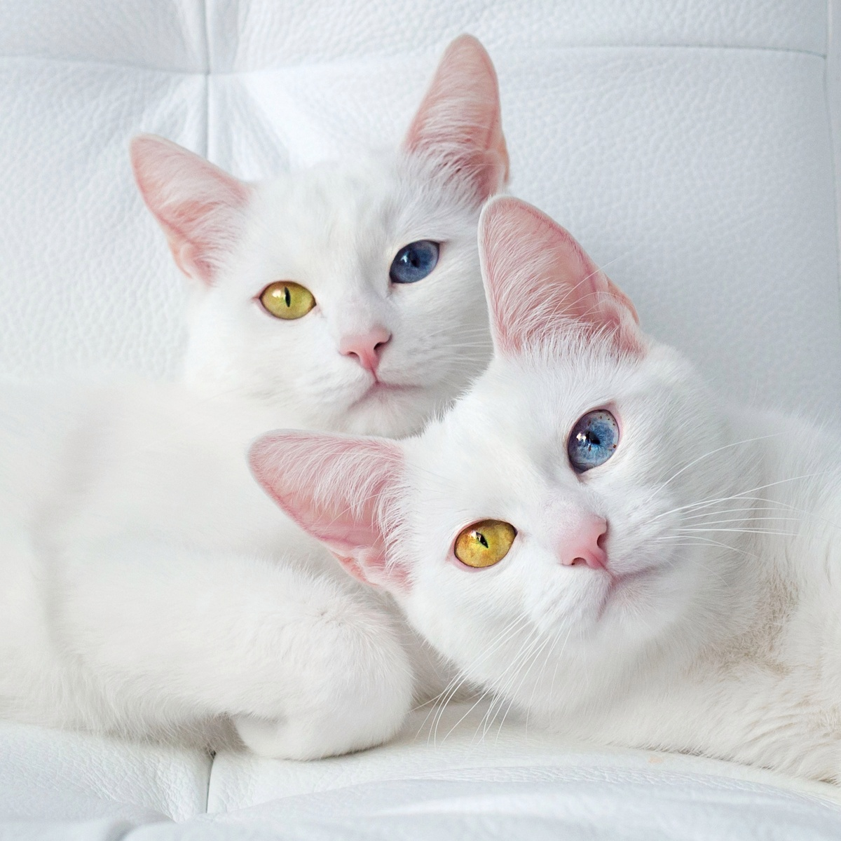 Name:  twin_cats_iriss_and.jpg