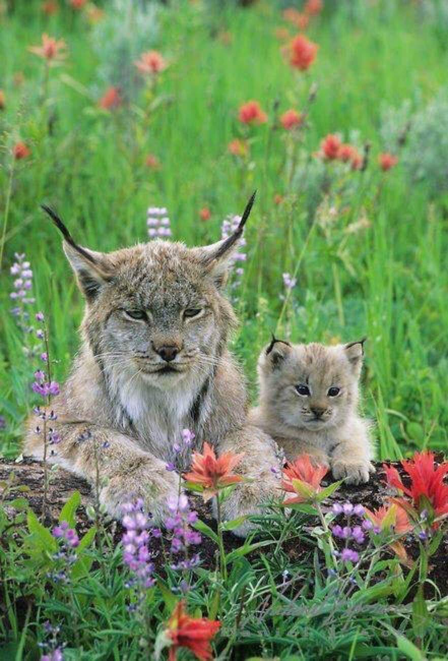 Name:  canada_lynx_with_kit.jpg Views: 32 Size:  153.1 KB