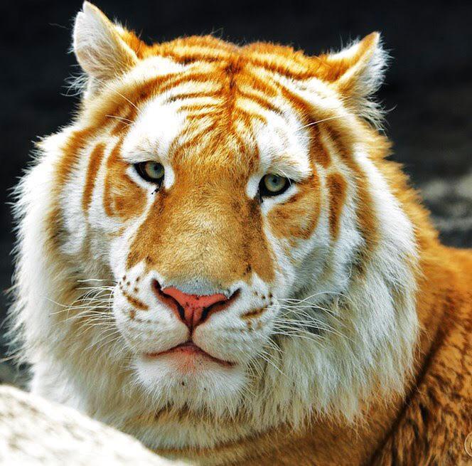 Name:  rare_golden_tiger.jpg Views: 56 Size:  90.3 KB