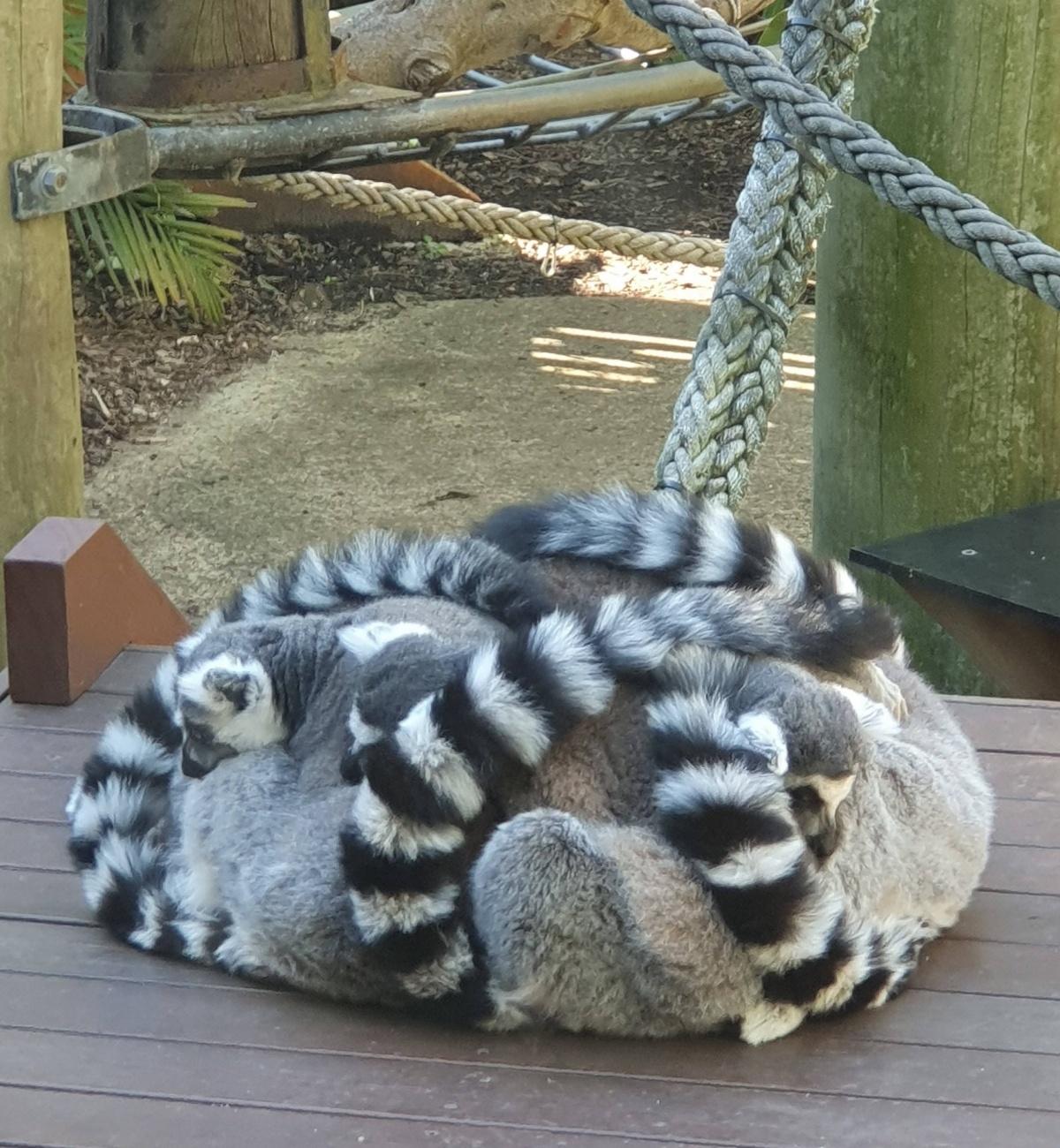 Name:  a_pile_of_lemurs_kee.jpg Views: 44 Size:  529.2 KB