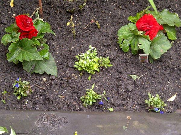 Name:  Begonias n stuff.jpg Views: 359 Size:  66.9 KB