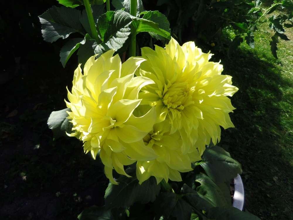 Name:  yellow dahlias.jpg Views: 106 Size:  64.3 KB