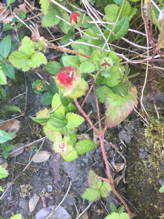 Name:  Wild forest strawberry,s.jpg Views: 82 Size:  117.4 KB