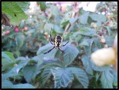 Name:  araign%u0025C3%A9+jaune+et+noire+dans+framboise.jpg Views: 150 Size:  17.4 KB