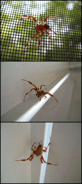 Name:  araneus+marmoreus.jpg