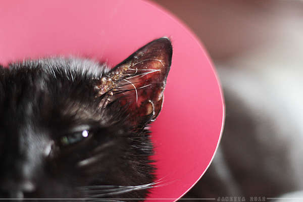 Ear Mites In Cats And Kittens