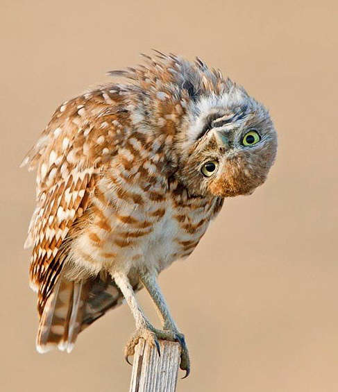 Name:  burrowing-owlet-by-rob-palmer.jpg