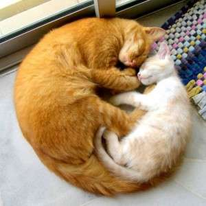 Name:  two-cat-circle-love-hug-orange-white-sleep-window-cute-adorable-heart-300x300.jpg