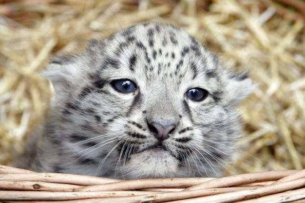 Name:  a_one_month_baby_snow_leopard_4c35c8e708b38.jpg