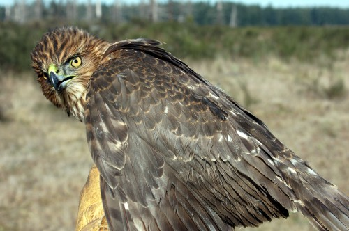 Name:  coopershawk1.jpg