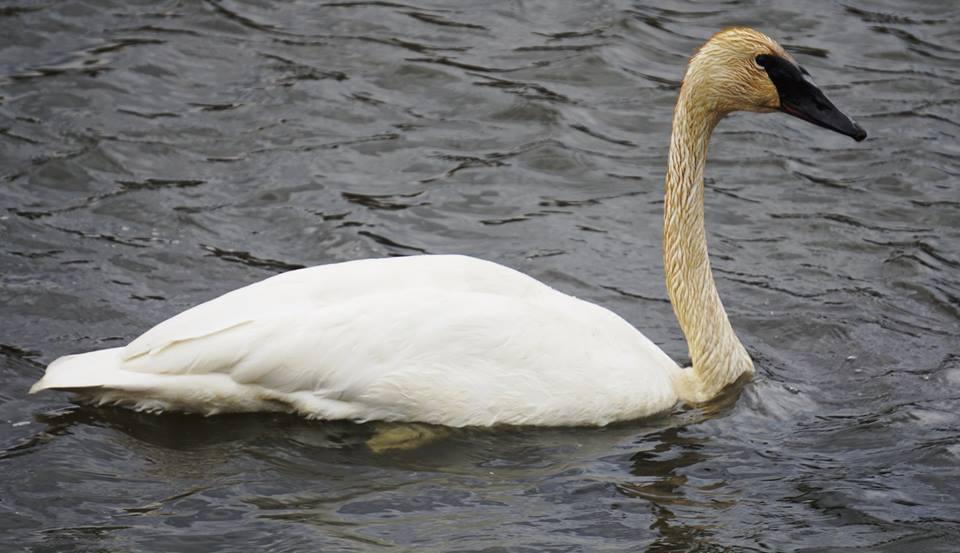 Name:  swan2.jpg Views: 55 Size:  70.5 KB