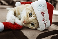 members/kelly25-albums-funny-pictures-picture153570-animal-cat-chatte-christmas-cute-favim-com-248380-large.jpg